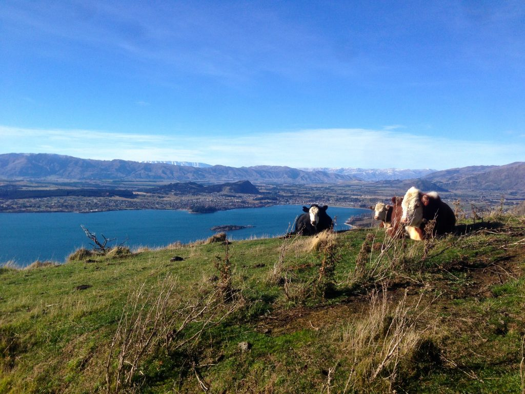 Cows on the mountain in Wakana on the trail to Roys Peak