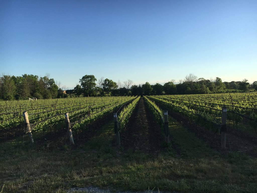 Niagara region landscapes of fields of grapes