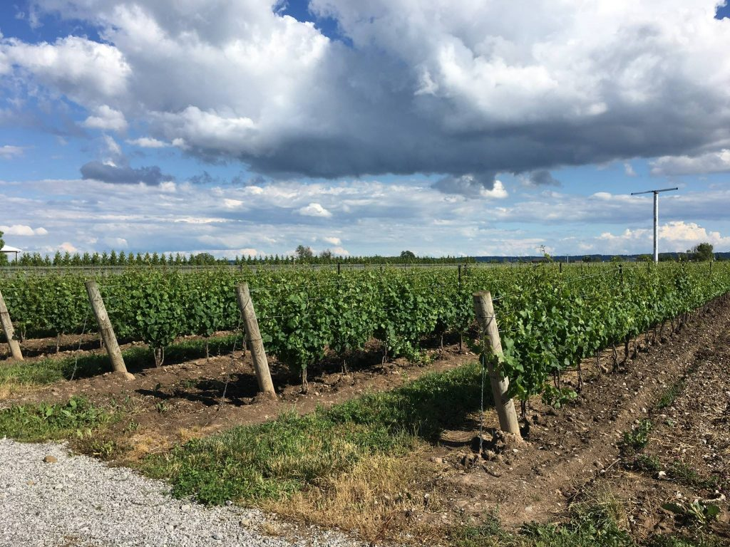 wine grape fields in Niagara on a bike tour of the wineries